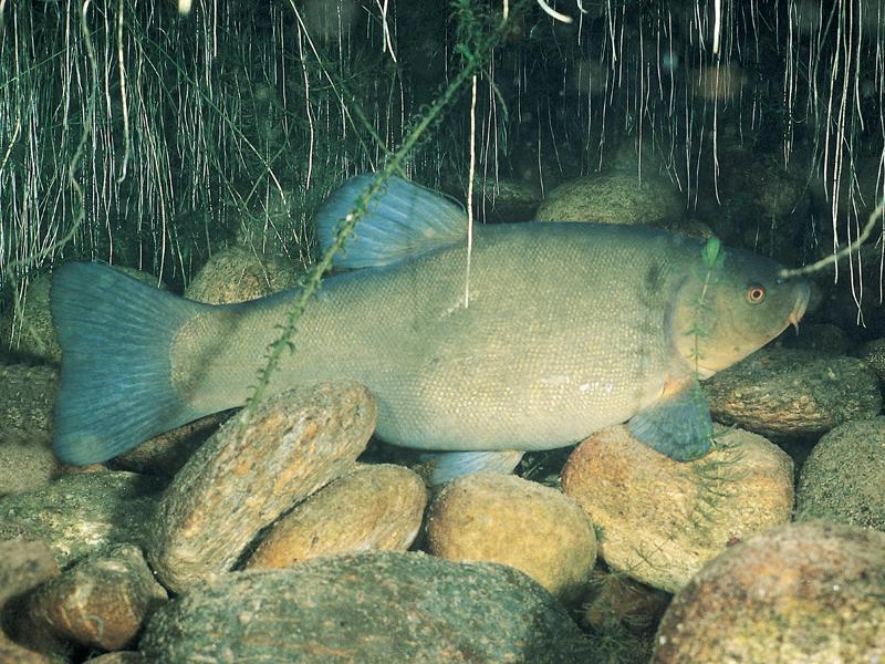 Die Schleie (Tinca tinca), auch der Schlei genannt, ist ein Friedfisch der Karpfenartigen und bewohnt fast ganz Europa.