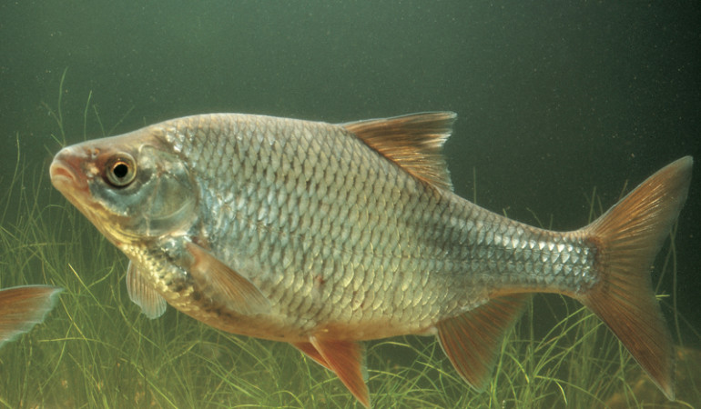 In stehenden Gewässern halten sich Plötzen gern im Mittelwasser auf.