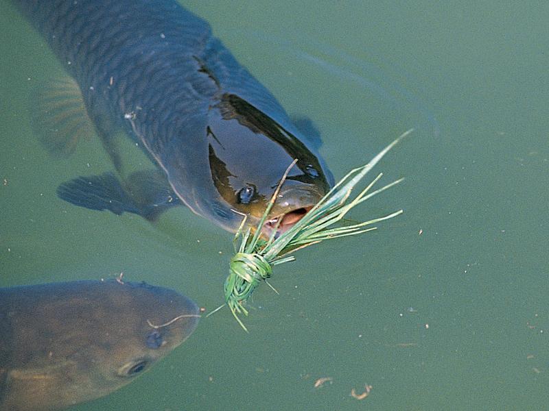Steckbrief Grasfische Blinker