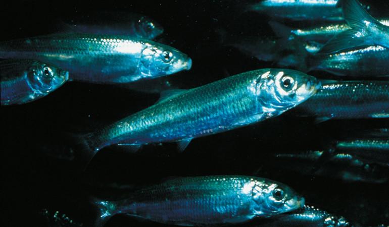 Der Hering ist ein beliebter Fisch bei Anglern und Fischern. Kein Wunder, denn es macht nicht nur Spaß ihn zu fangen, sondern auch zu essen. Foto:BLINKER
