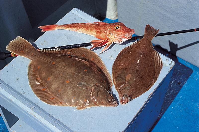 Oft gehen Knurrhähne als Beifang beim Plattfischangeln an den Haken. Im Bild: Knurrhahn, Kliesche, Scholle (im Uhrzeigersinn).