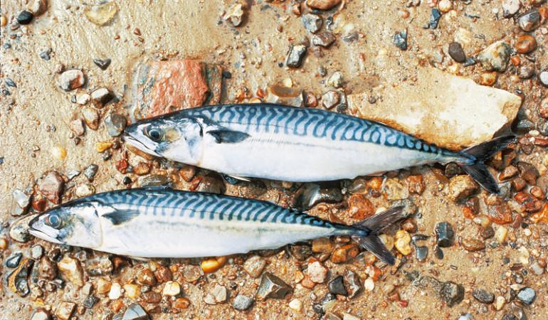 Torpedoförmiger Körper. Auf der Ober- und Unterseite des Schwanzkiels befindet sich je eine Reihe von fünf kleinen Flossen. Der Rücken ist grünblau mit unregelmäßig verlaufenden, dunklen Bändern, die sich bis über die Seitenlinie erstrecken - Die Makrele