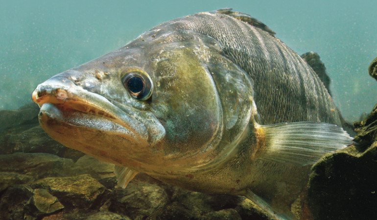 Der Zander hält Augen und Nase offen beim Beutezug. Reagiert er jetzt eher auf einen beweglichen Twister oder einen duftenden Köderfisch?