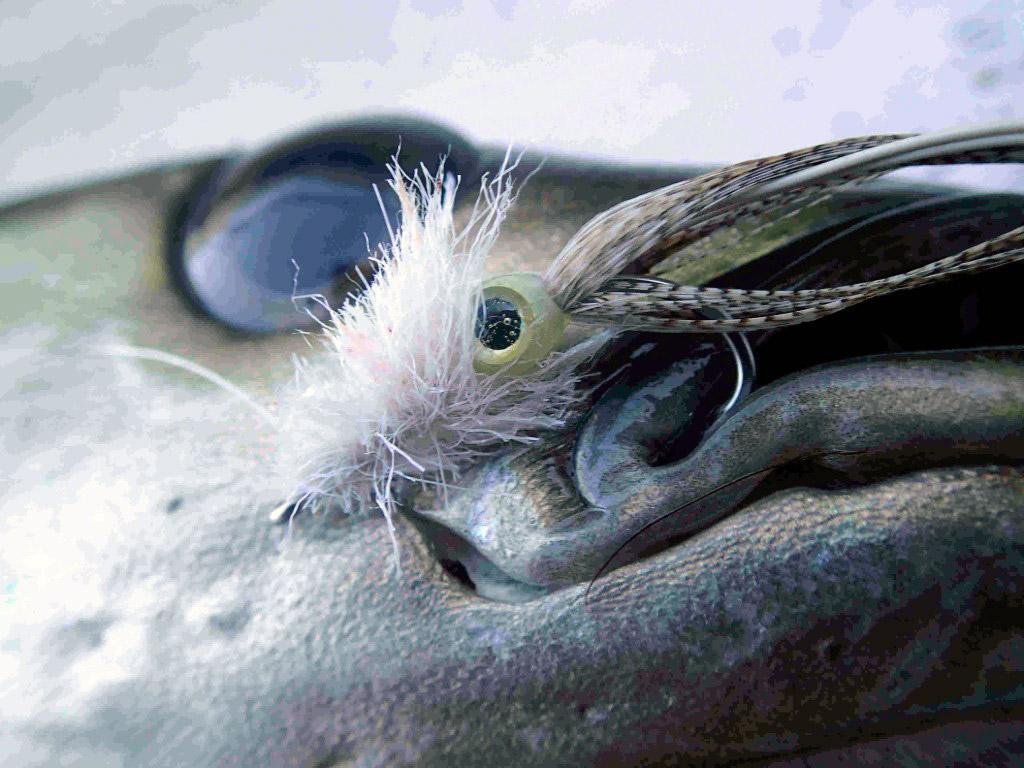 """Pollack und die im Freiwasser lebenden Köhler können einem kleinen Kalmar nicht widerstehen! In diesem Fall nach ein Pollack den über den Blasentang huschenden """"Locktopussy"""". Foto: M. Werner"""