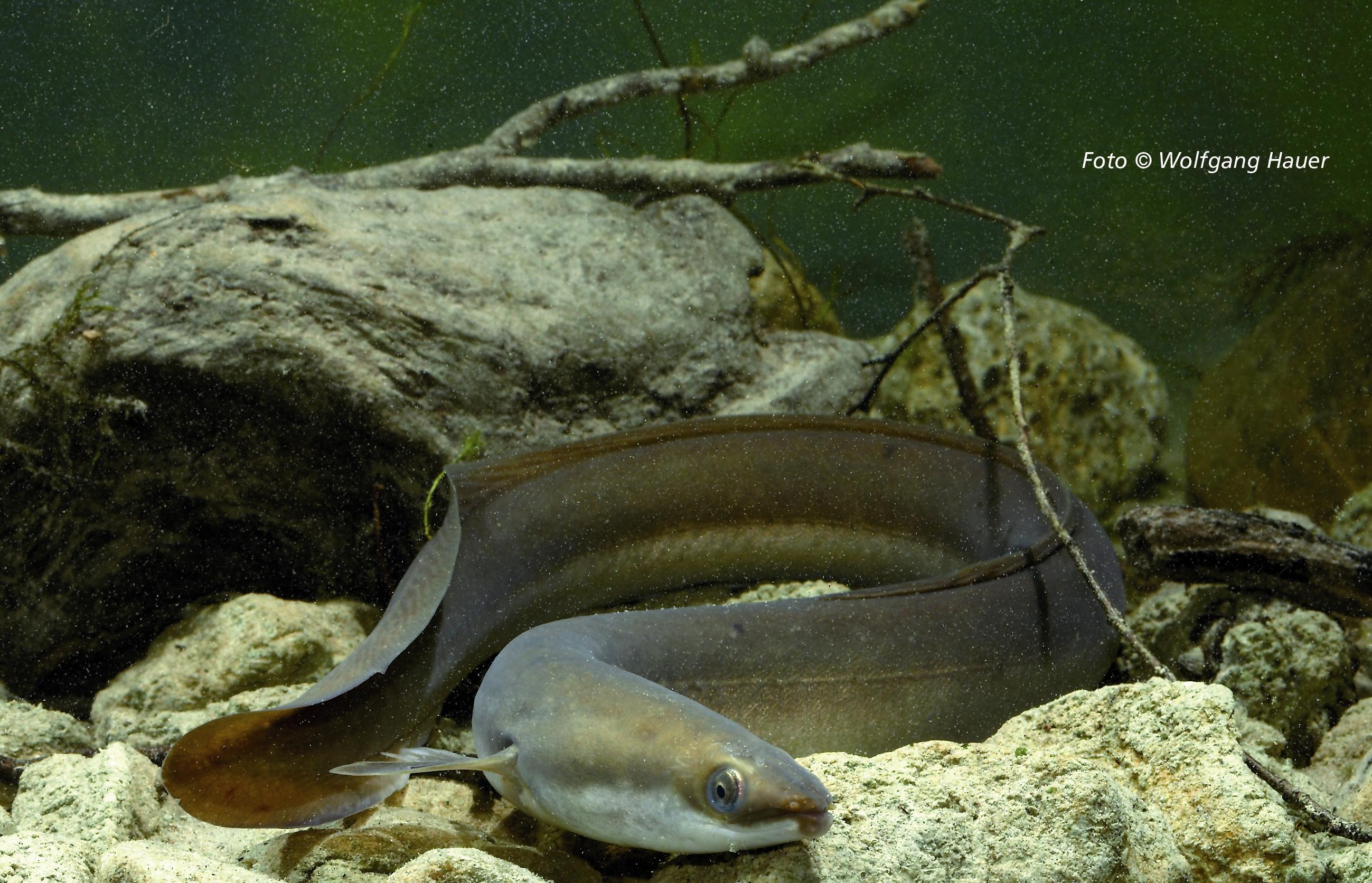 Fisch des Jahres 2009 – Der Aa...