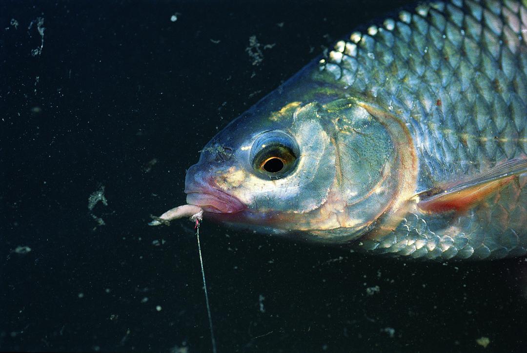 Der Klassiker: Rotauge auf Made. Wer Friedfische fangen will, kommt an der Made als Köder kaum vorbei. Heinz Jagusch