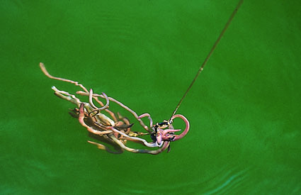 Auch bei einem Tauwurmbündel müssen die Würmer regelmäßig gewechselt werden. O. Portrat