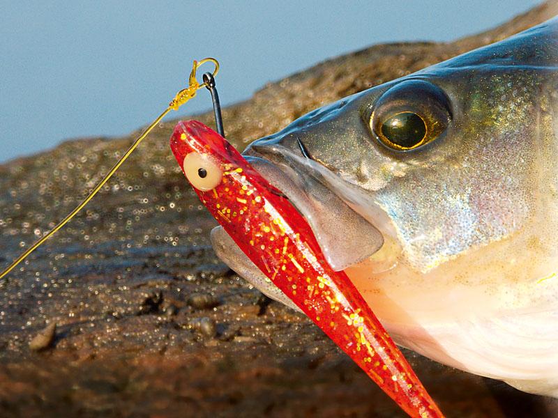 Haupt-Profiteure des Dropshot-Angelns mit Seitenarm sind Barschangler. Der Barsch kann den Köder am Seitenarm besser ansaugen. Foto: BLINKER