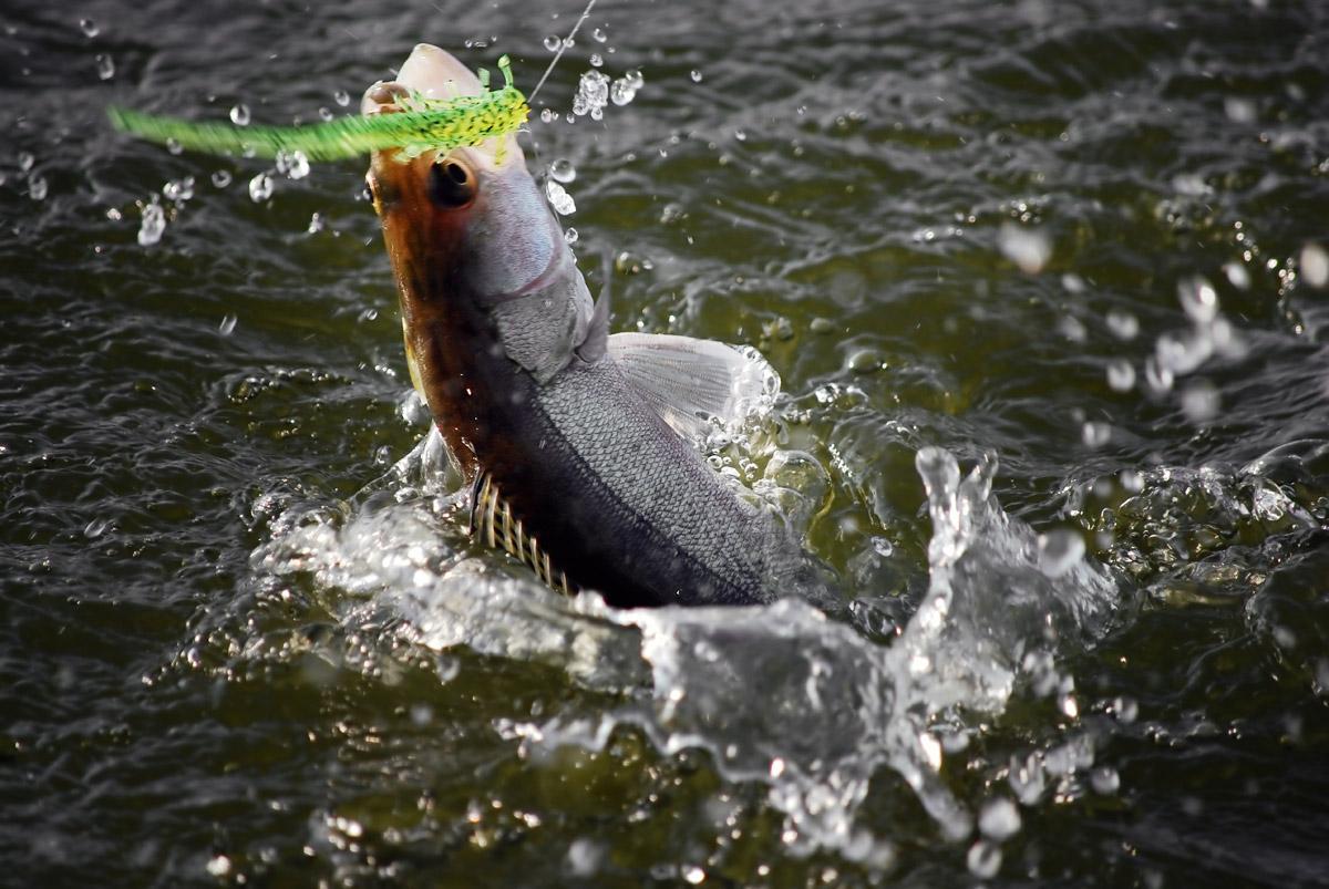 Ein Dropshotköder am Seitenarm ist für den Fisch leichter einzusaugen. Dadurch sitzt der Haken sicher im Maul – so wie bei diesem Zander. Foto: BLINKER/O. Portrat