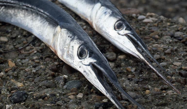 Hornhechte sind im Mai und Juni begehrte Beute vieler Meeresangler. H. Jagusch