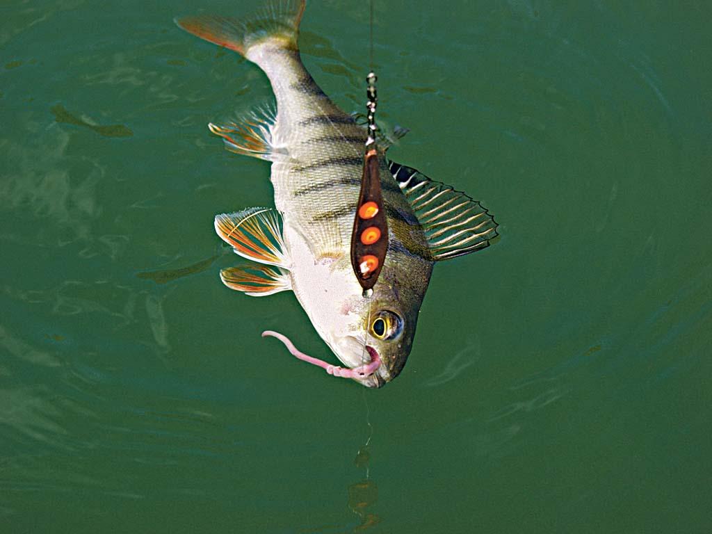 Wer seine Kunstköder mit Naturködern aufpeppt, erhöht die Bissausbeute. Besonders wenn nach einer Beißphase die Fische ihre Mäuler verschlossen halten, bringt diese Kombi meist die erhoffte Kehrtwende. Foto: BLINKER