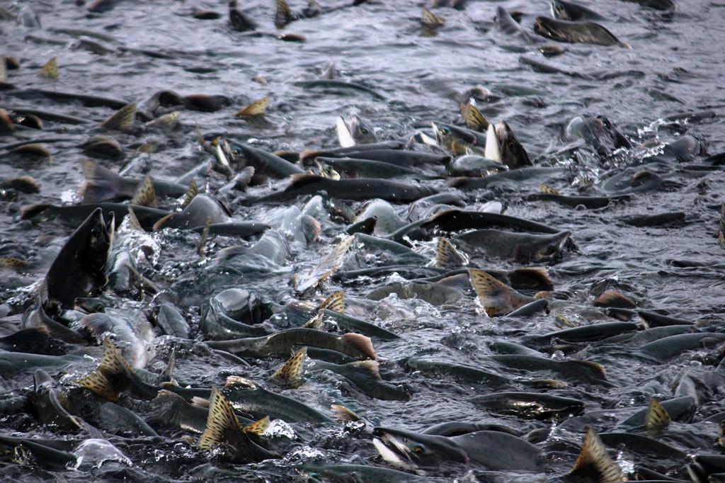 Lachslaus: Parasit gefährdet Fischbestand und lässt Preise steigen