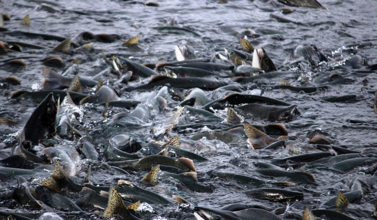 Der wenige Millimeter große Lachslaus sorgt dafür, dass sich die Preise für Zucht-Lachse drastisch erhöhen. Foto:pb/privat
