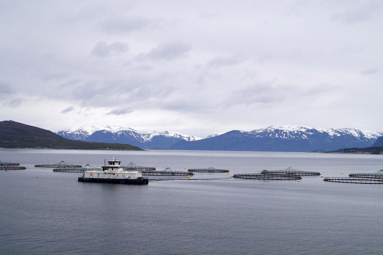 Lachsfarmen in Norwegen sind wahre Brutstätten für Lachsläuse. Foto: pb/ privat