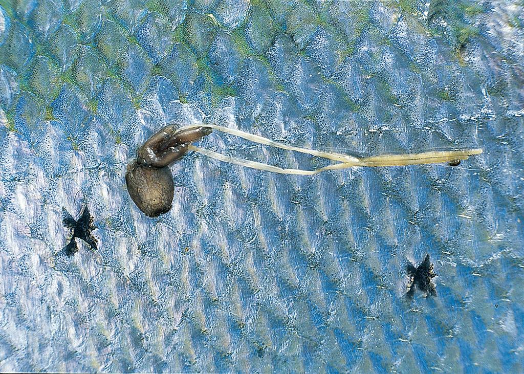Eine Lachs-Laus richtet keinen Schaden an, doch befallen 10 dieser Krustentiere einen Junglachs, wird es für ihn lebensbedrohlich! Foto: BLINKER/E. Hartwich