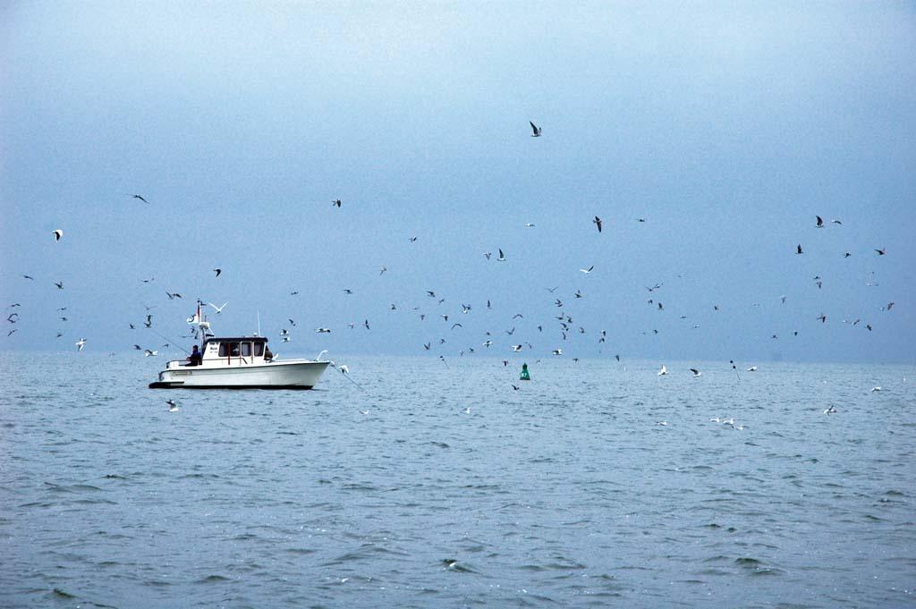 Peenestrom: Stundenlang rauben die Seevögel kleine Stinte. Und ebenso lange jagen die Raubfische die Beutefische von unten und von den Seiten. Foto: BLINKER