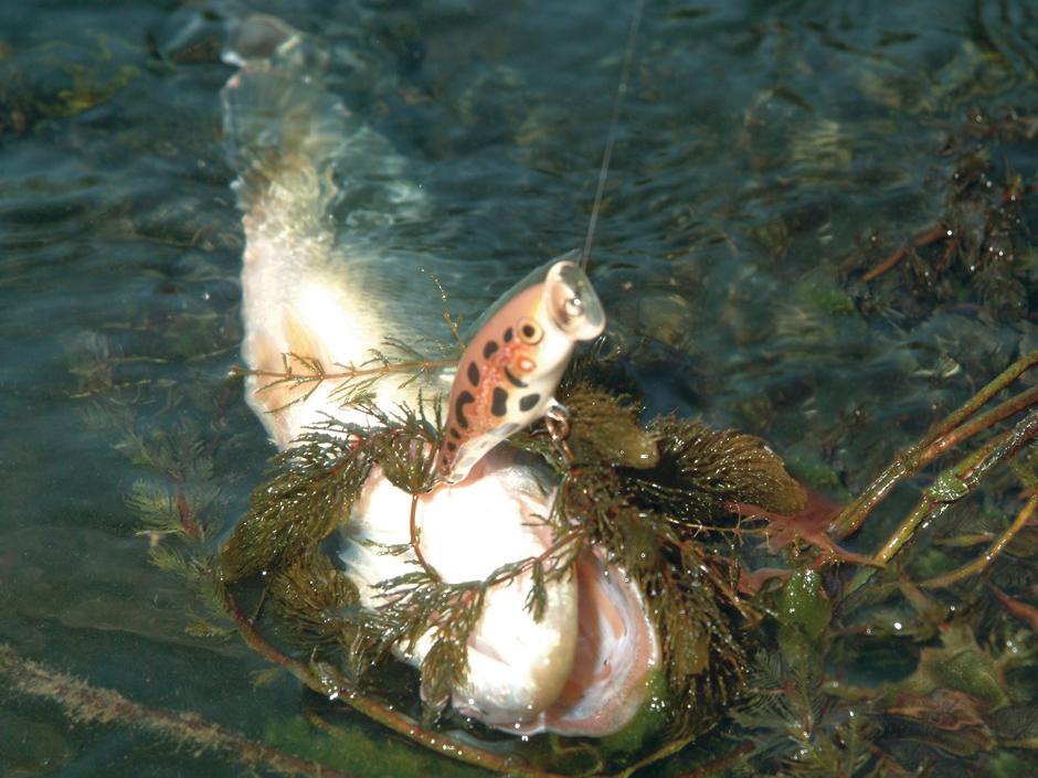 Popper sind ideale Köder für stark verkrautete Gewässer, weil man sie an der Oberfläche über das Grünzeug hinweg führen kann. Foto: BLINKER