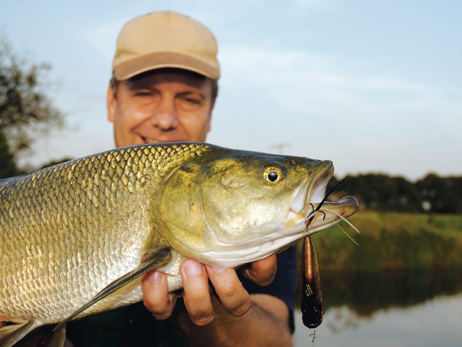 Rapfen rauben gerne an der Oberfläche. Deshalb gehören sie auch zu den klassischen Zielfischen für Popper-Angler.