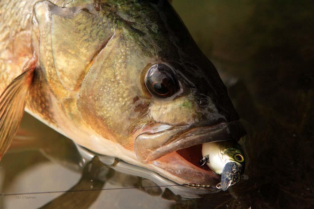 Beim Barschangeln im Winter mit Wobblern sollte man bei Hechtvorkommen zum Stahlvorfach greifen. Wie man sehen kann, stört das Fische nicht.