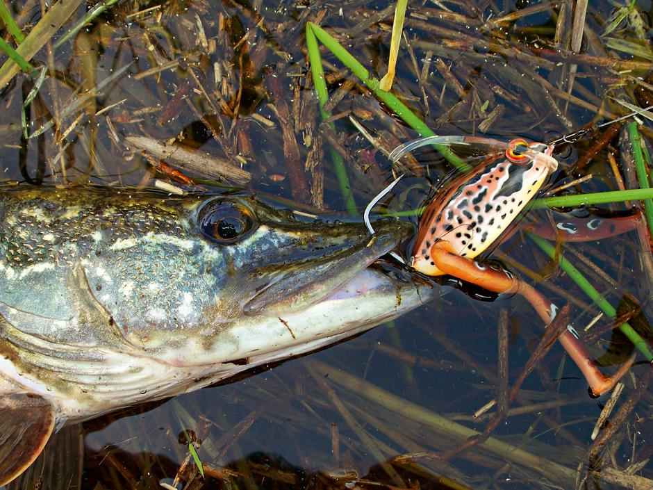 Spinnfischer benutzen gerne Imitationen wie den Diver Frog - als Fliegenfischer sollte Sie unbedingt einmal den Frosch-Streamer versuchen!