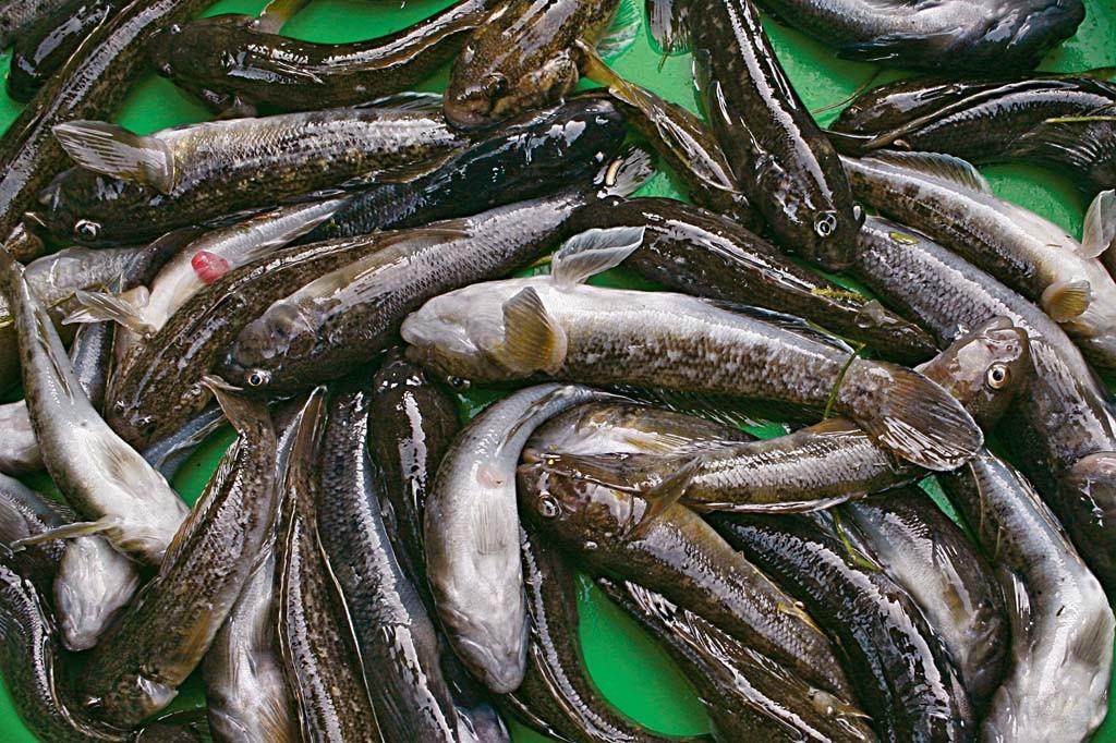 Die Schwarzmundgrundel nervt nicht nur die Angler, sondern ist eine Gefahr für unsere Gewässer. Foto: Blinker