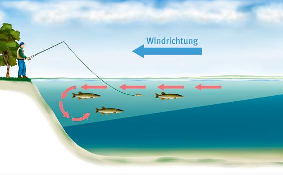 Im Frühjahr halten sie die Hechte gerne auf der windzugewandten Seite in den oberen Gewässerschichten auf. Grafik: BLINKER