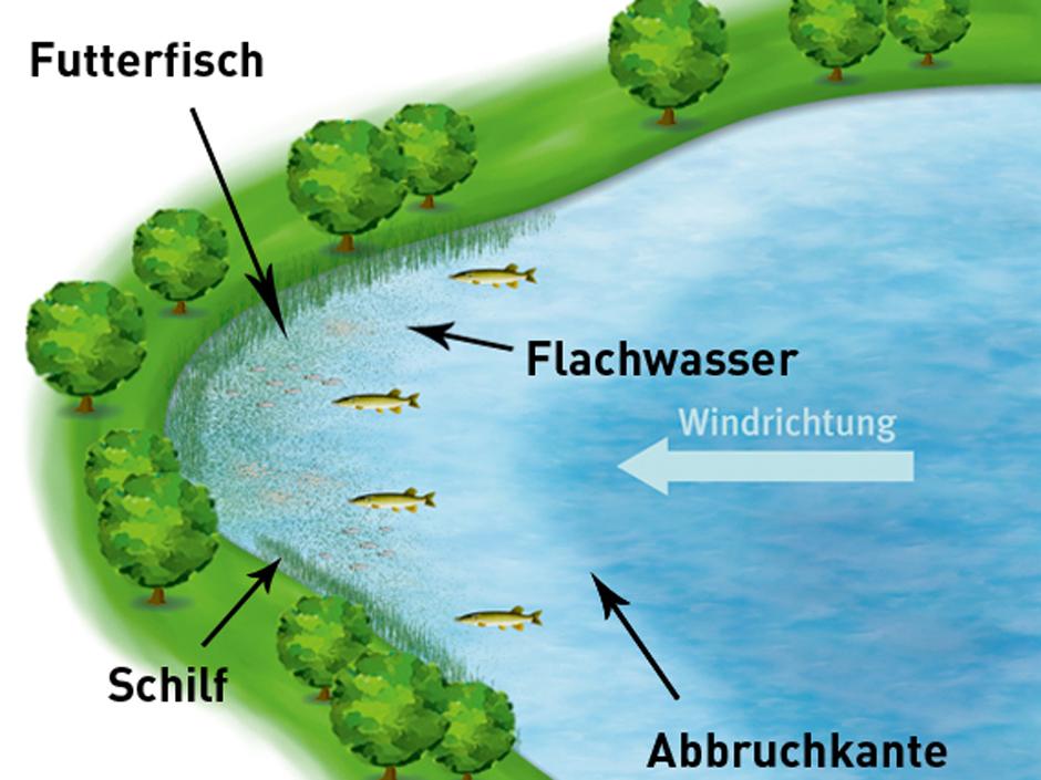 Im seichten Wasser der Buchten halten sich die Futterfische auf - –die Hechte ebenfalls. Grafik: BLINKER
