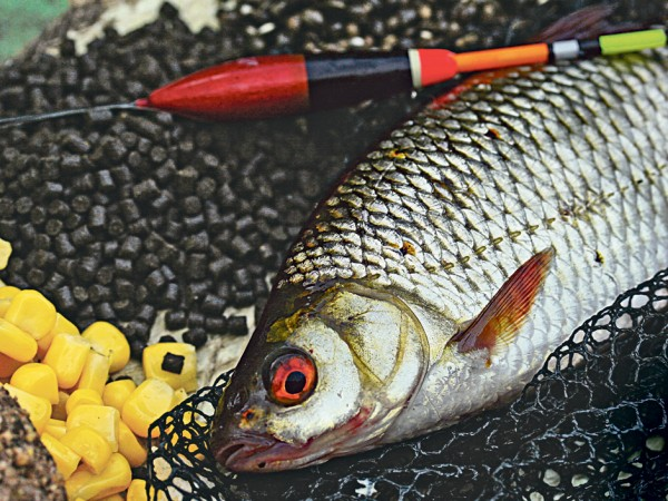 Beim Friedfischangeln kommt man um Mais definitiv nicht herum. Dieses Rotauge ließ sich von der goldenen Farbe und den süßlichen Aromen an einer Posenmontage fangen. Foto: BLINKER