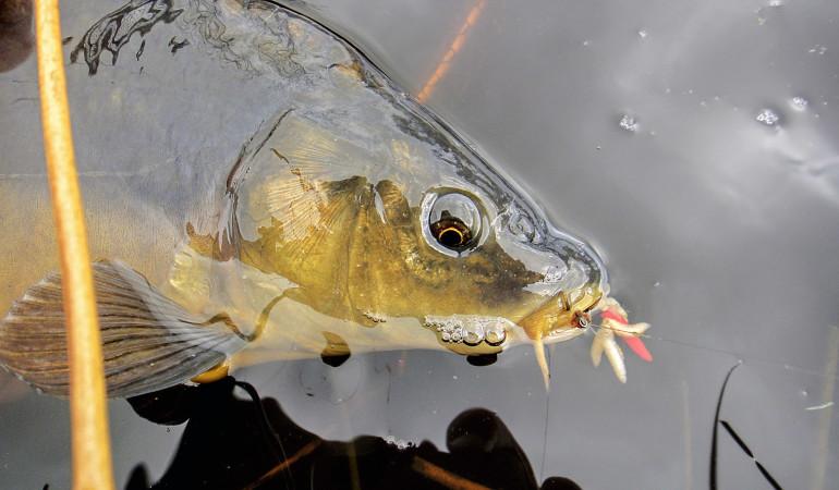 Karpfenangeln mit Madenclip ist besonders an schwierigen Gewässern oft erfolgsentscheidend. Foto: BLINKER/F. Schlichting