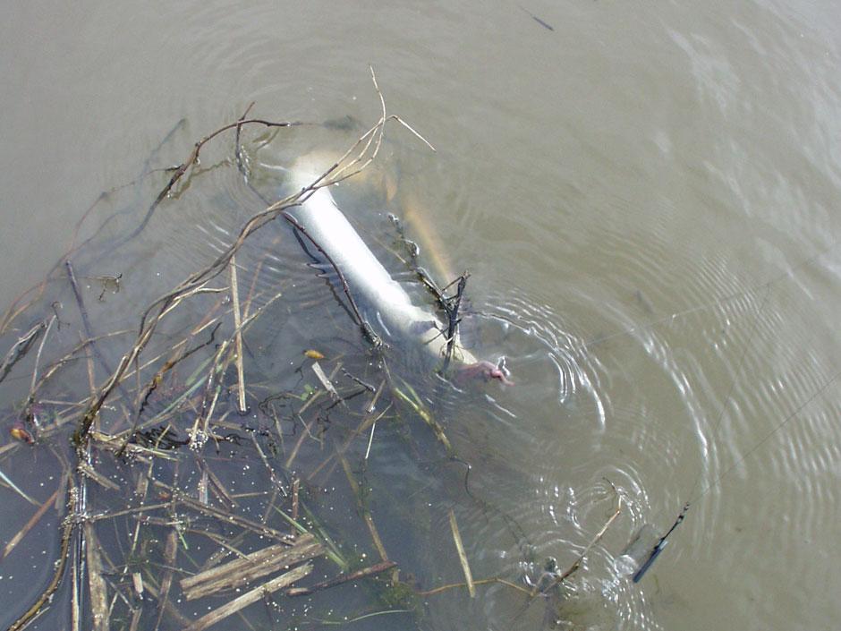 Dieser Aal biss direkt vor der Uferkante. Foto: BLINKER