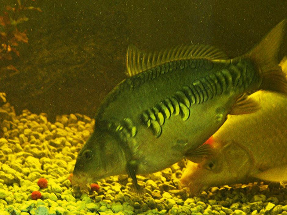 Praxis karpfen kleine kugeln f r gro e karpfen f ngige for Fressen kois kleine fische