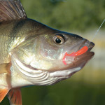 Der Barsch am Haken. Wie sehr stört den Fisch die Wunde? Fühlt ein Fisch Schmerz? Das haben kanadische Forscher untersucht.