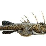 Der Seeteufel ist neben den Fühlerfischen und den Tiefseeanglern eine Unterart aus der Ordnung der Anglerfischartigen.