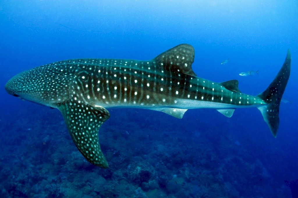 größter fisch der welt ist in unserer Gegenwart der Walhai.