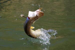 Ein toller Grund zum Raubfischangeln: Spektakulärer Hechtsprung von Deutschlands beliebtesten Raubfisch