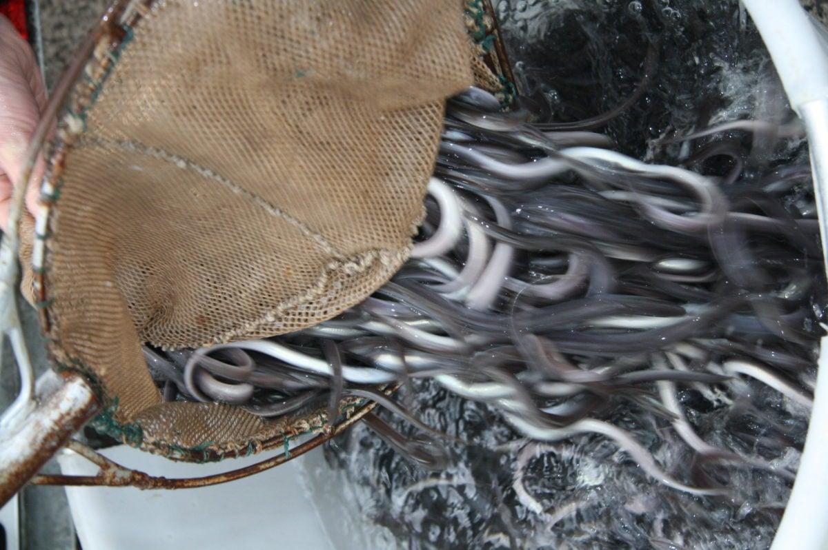 Ohne den umfangreichen Aalbesatz von Angelvereinen wäre der Aal vielleicht schon ausgestorben. Foto: BLINKER-Archiv