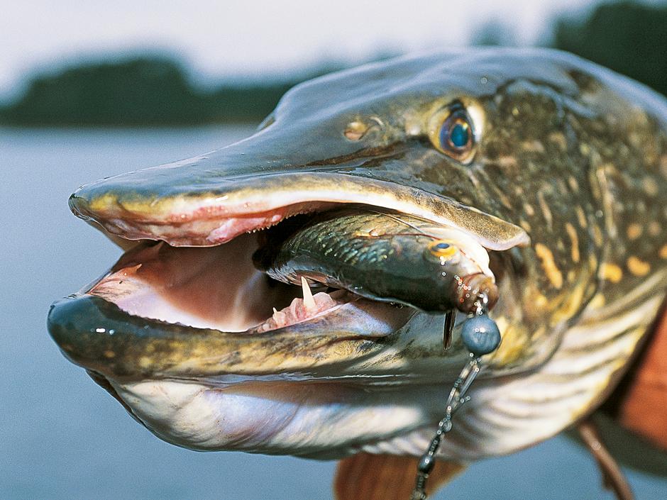 Zugeschnappt: Dieser Hecht konnte den Köderfisch am Drachkovitch-System nicht widerstehen. Foto: Archiv