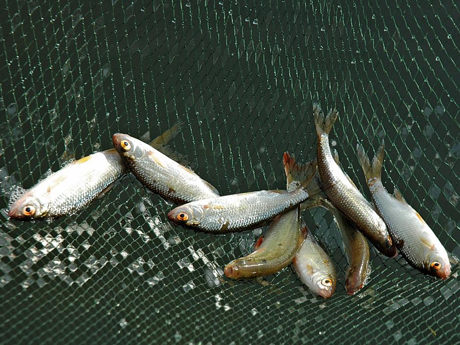 Weißfische sind in vielen Gewässern die Hauptnahrung der Hechte.