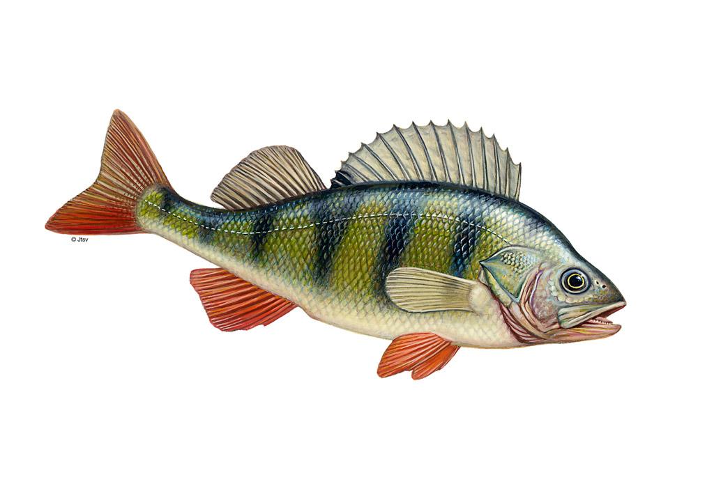 Der lateinische Name für Flussbarsch lautet Perca fluviatilis. Grafik: BLINKER