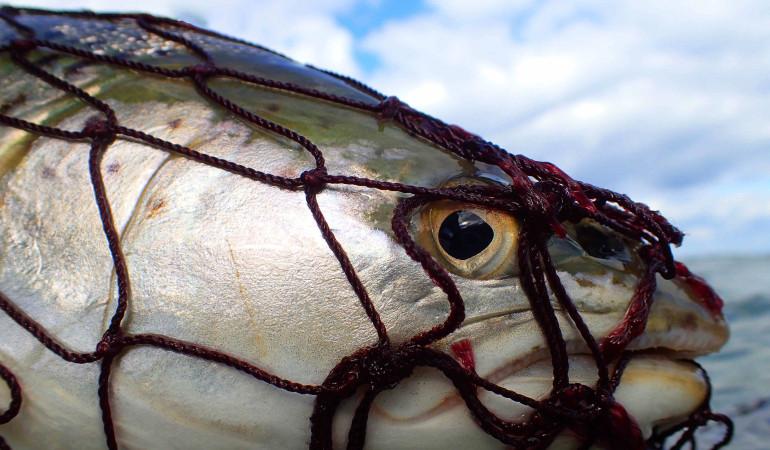 Eine Meerforelle im Kescher. Auf www.Danfishing.de finden Sie Informationen zum Angeln in Dänemark.