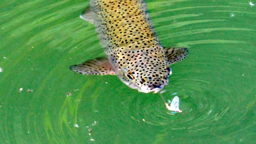 Eine Regenbpgenforelle steigt zur Maifliege. Zu den Tipps und Tricks gehört das Beobachten der Fische vor dem Wurf, denn besonders Regenbogenforellen pendeln gerne hin und her.
