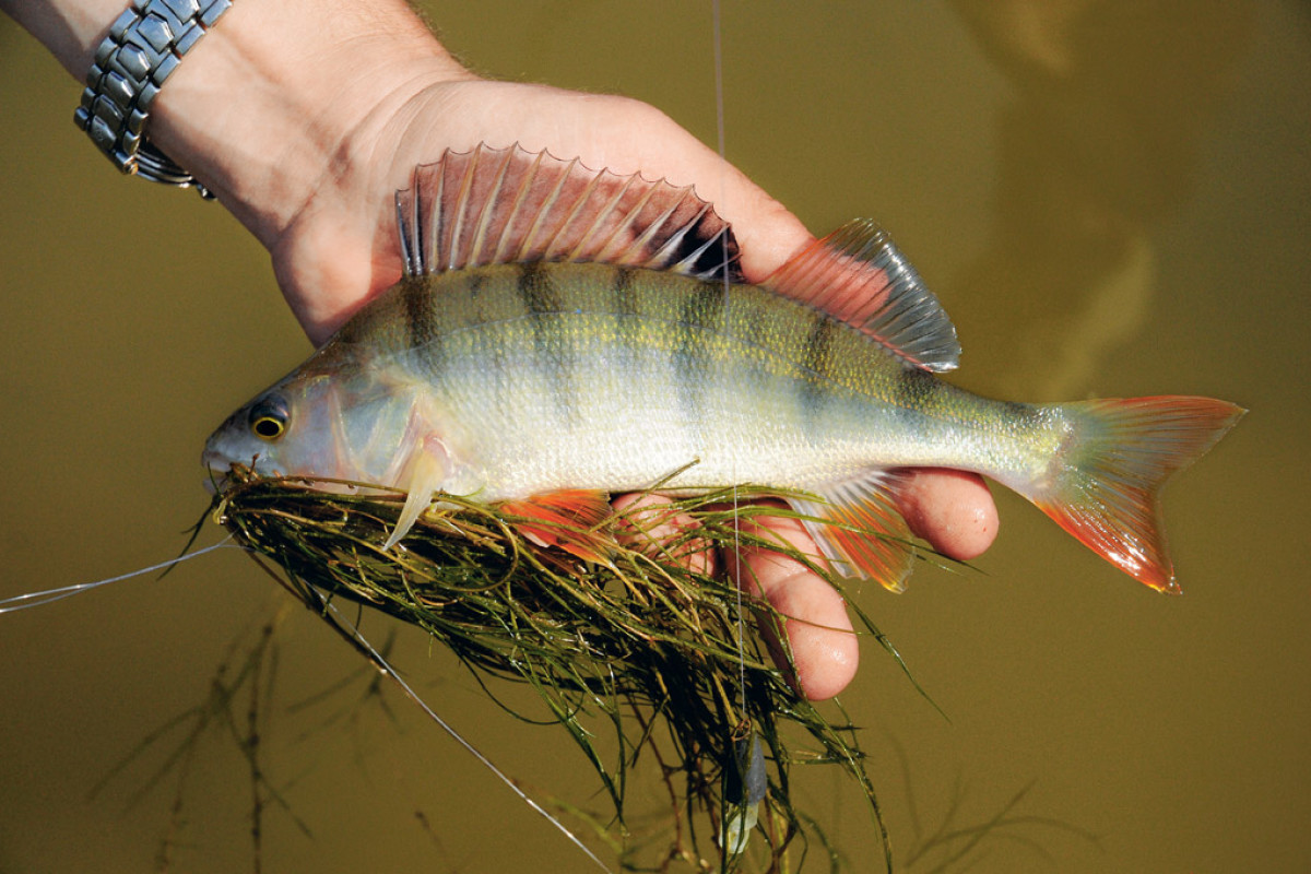 Der Barsch ist nicht nur an der beim Angeln ein toller Fisch, auch in der Pfanne ist er ein leckeres Highlight. Foto: BLINKER/A. Seiberlich