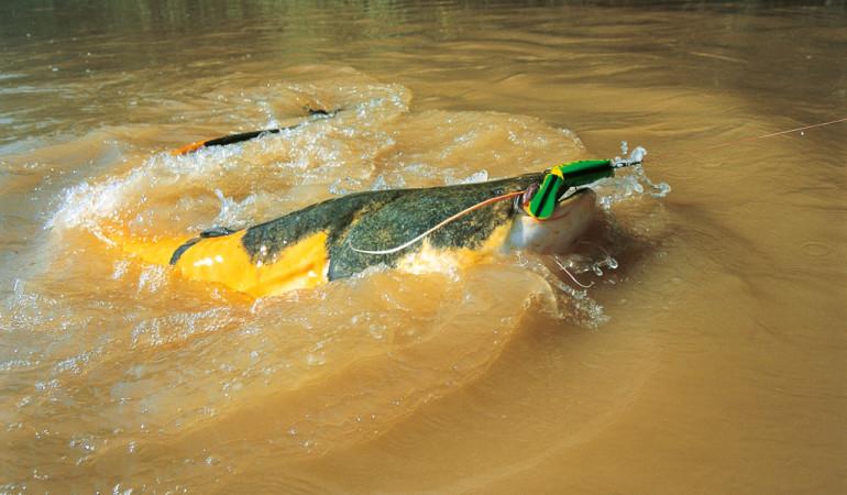 Harte Bisse und ebenso harte Drills sind garantiert beim Welsangeln auf Wobbler. Foto: O. Portrat