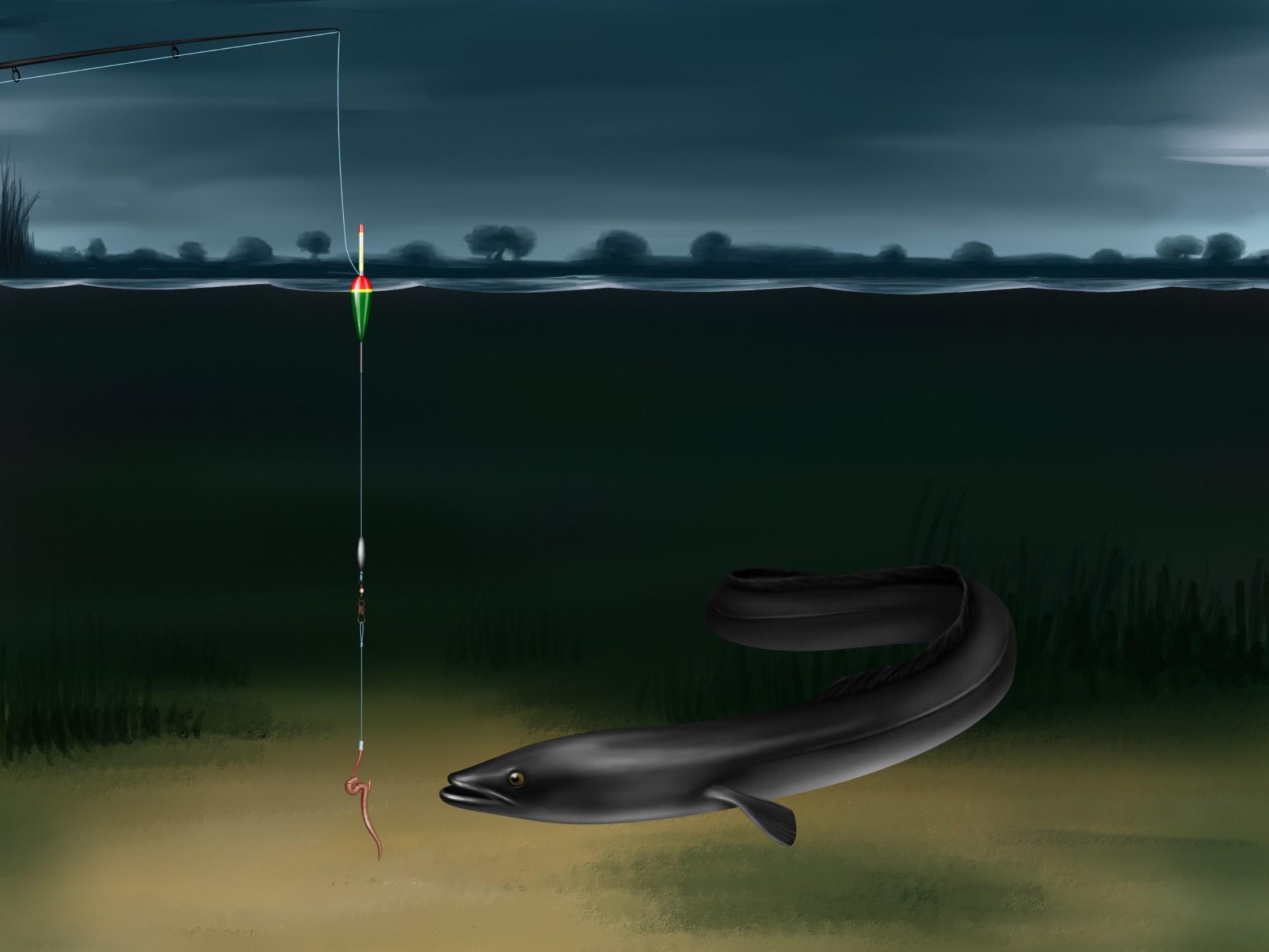 Beim Aalangeln mit der Pose kann der Köder etwas über oder direkt auf dem Grund abgelegt werden. Grafik: JTSV