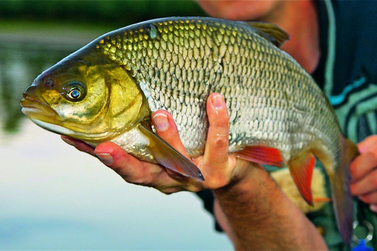 Der Aland, auch Orfe oder Nerfling genannt, ist ein karpfenverwandter Friedfisch. Er ist in fast ganz Europa heimisch.