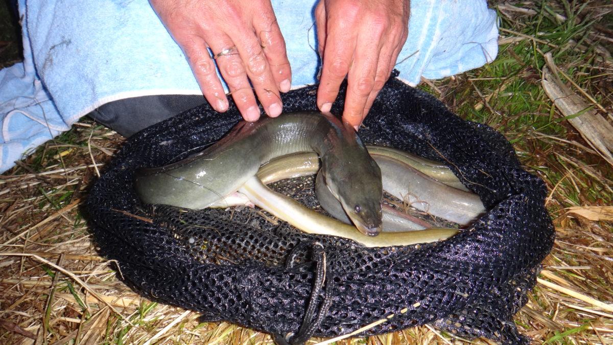 Wer die Regeln beim Aalangeln beachtet, steigert seine Fangchancen. Foto: S.Kaufmann