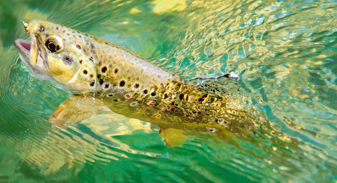 Für das Fliegenfischen auf Forellen und Weißfische bieten sich Ruten der Schnurklasse 3 bis 6 an. Am kleinen Bach reicht eine Fliegenrute der Klasse 3, am großen Fluss ist eine Fliegenrute der Schnurklasse 6 besser. Foto: BLINKER