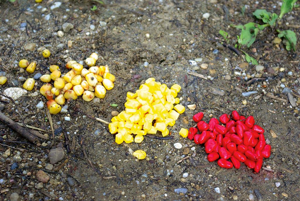 Angelmais ist in unterschiedlichen Farben und Aromen entweder fix und fertig im Fachhandel erhältlich. Natürlich kann man auch ganz nach seinen eignen Wünschen Mais färben und mit Aromen versehen. Foto: BLINKER