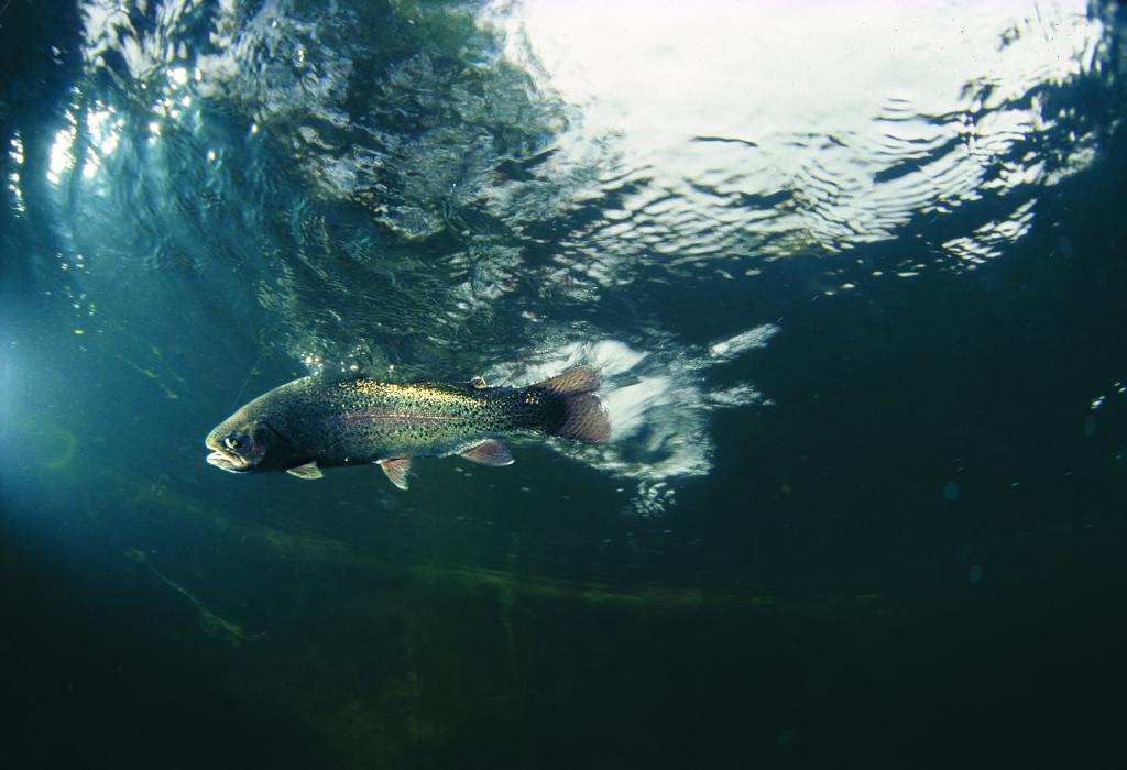 Attacke im Schwarm. Wenn die Forellen Hunger haben, wirkt ein Köder manchmal wie die einfallenden Pellets im Zuchtteich. Dann punkten Oberflächenköder.