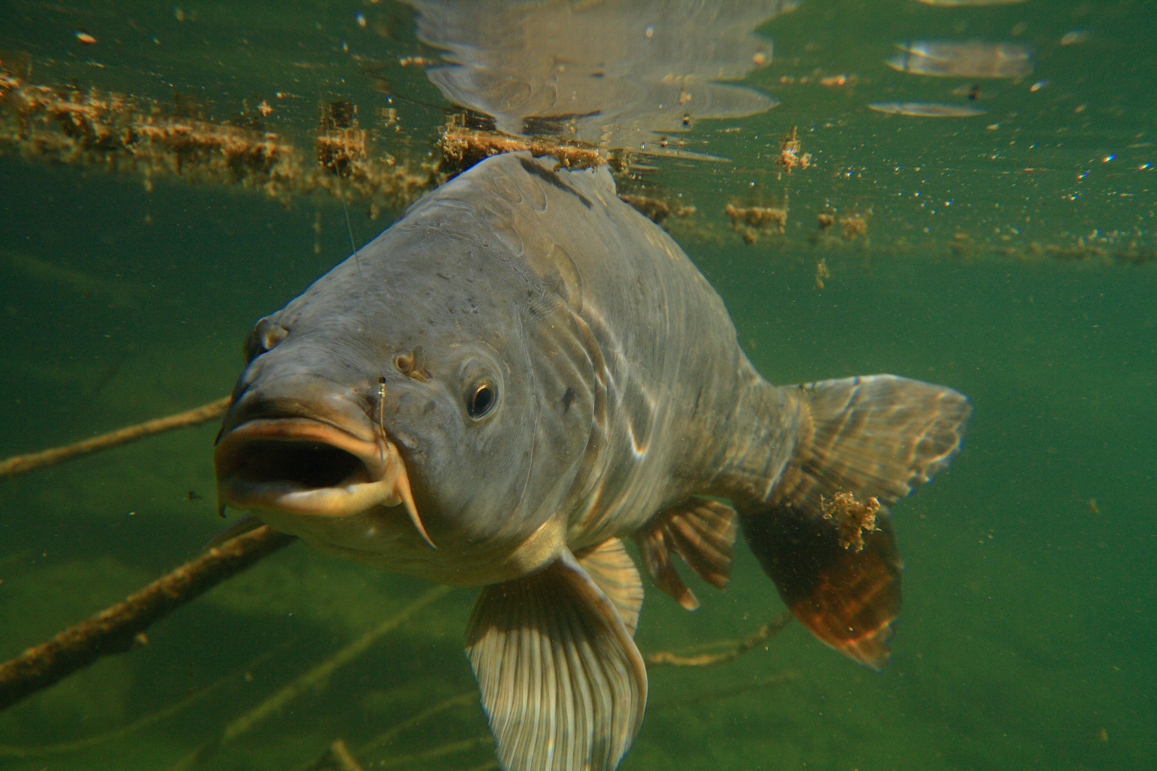 Karpfenangeln jetzt mit fisch und krebsaromen punkten for Fisch bilder